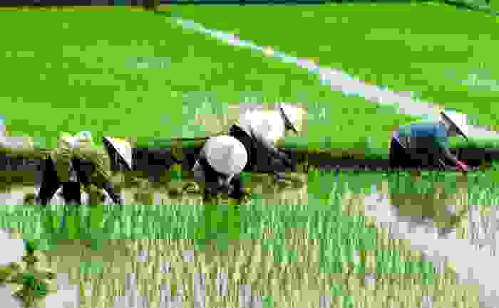 Campesinos chinos sembrando arroz en sus tierras