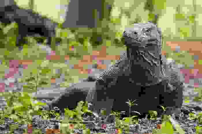 Animal Komodo en su parque nacional