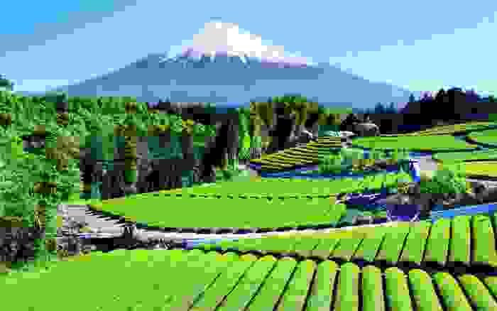 Campo de té con el Monte Fuji