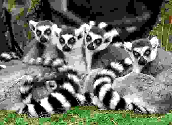 Familia grande de lemures