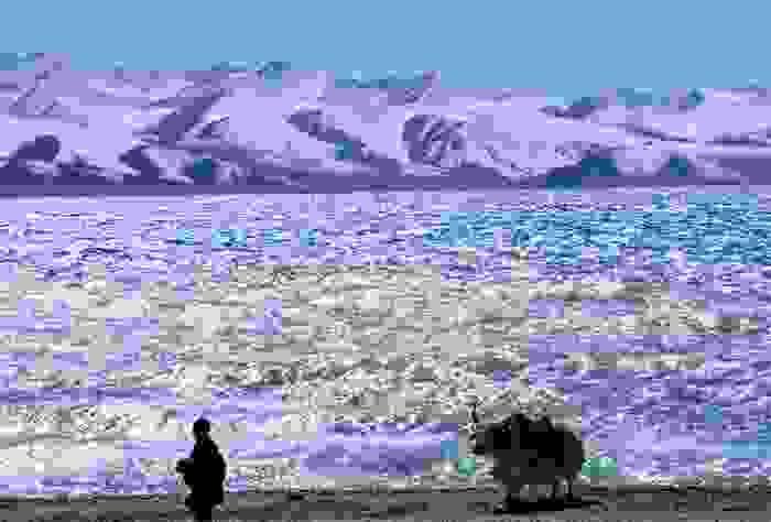 Yak en el Tíbet