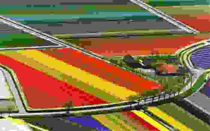 Campo de tulipanes holandés