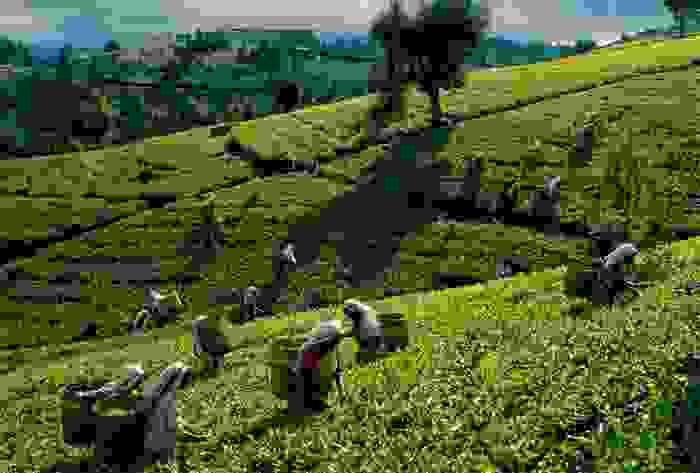 Mujeres trabajando en los campos de té