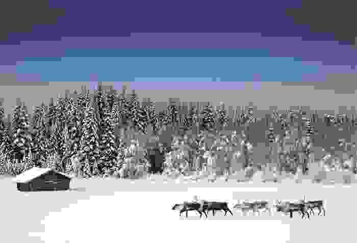 Rebaño de renos junto a un bosque de Suecia