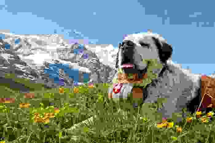 San bernardo, perro símbolo de Suiza salvavidas de montañeros