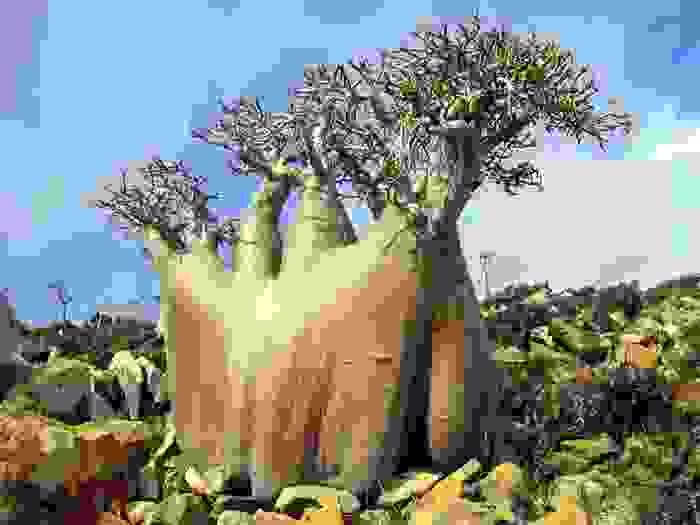 Arbol exótico típico de Socotra
